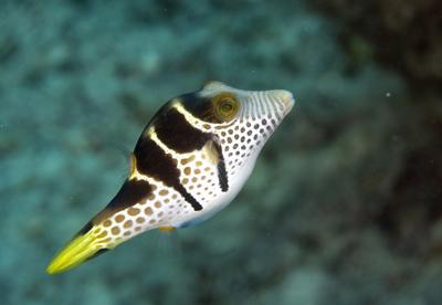 CanthigastervalentiniBlack-saddledtoby,Kadavu,Fiji,2007copy.jpg