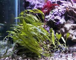 Caulerpaprolifera2-2-3.jpg